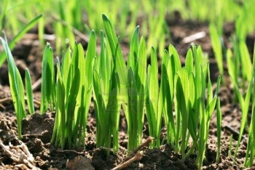 12566863-wheat-germ-spring-wheat-seedlings