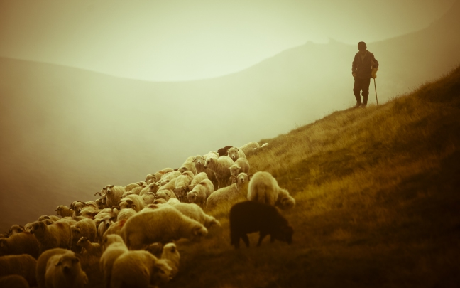 shepherds and sheep