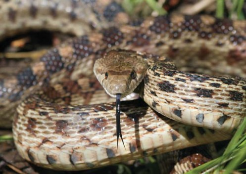 gopher-snake-imitates-rattler
