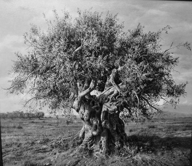 olive tree b w
